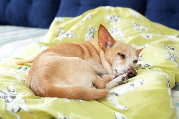 Small cute tired chihuahua dog resting on bed on a sunny day on blanket. care for pet. portrait of dog sleeping morning on couch. feeling tired or bored. depression, boring. dog is waiting for owner. Premium Photo