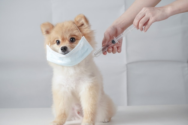 Small dog breeds or pomeranian with brown hairs sitting on the white table and wearing mask for protect a pollution or disease. it was injected vaccine with syringe by owner Premium Photo
