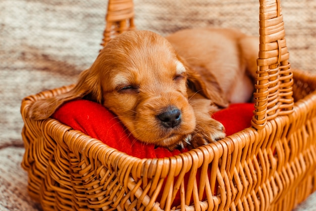 The small dog sleeping   in the cubby Free Photo