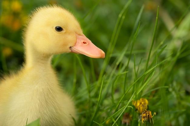Small duckling Premium Photo