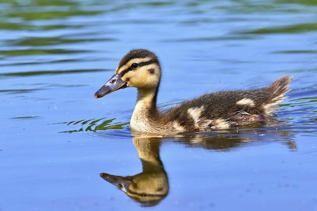 Small ducks on a pond. fledglings mallards.(anas platyrhynchos) Premium Photo