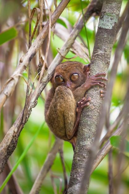 Маленький смешной tarsier на дереве в естественной среде на острове бохоль, филиппины Premium Фотографии