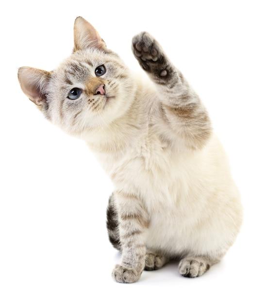 白い背景の上の小さな灰色の子猫 Premium写真