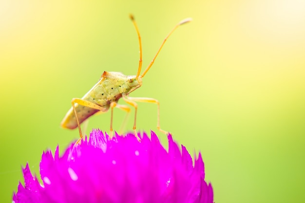 Small green insect on purple flowers blooming in a refreshing morning Premium Photo