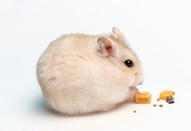 Маленький хомяк ест сухой корм на белом фоне крупным планом, вид сбоку Premium Фотографии