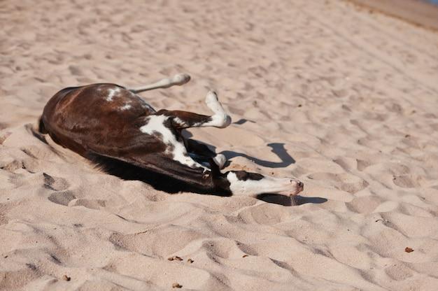 Маленькая лошадь на пляже, играя на песке Premium Фотографии