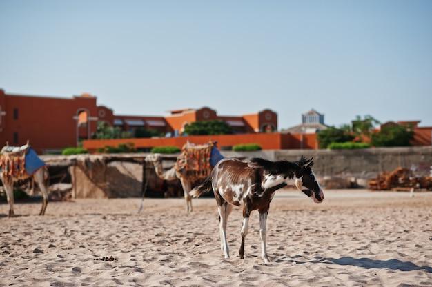 Маленькая лошадь на пляже гуляет по песку Premium Фотографии