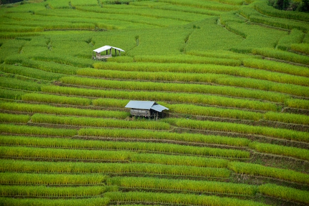 Small house and rice paddy fields in chiangmai,thailand Premium Photo