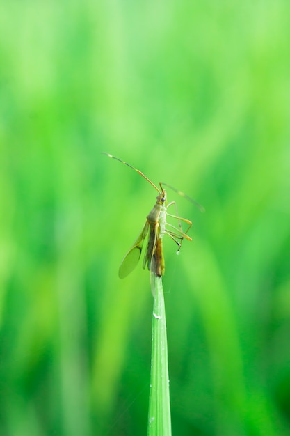 Small insect on rice field Premium Photo