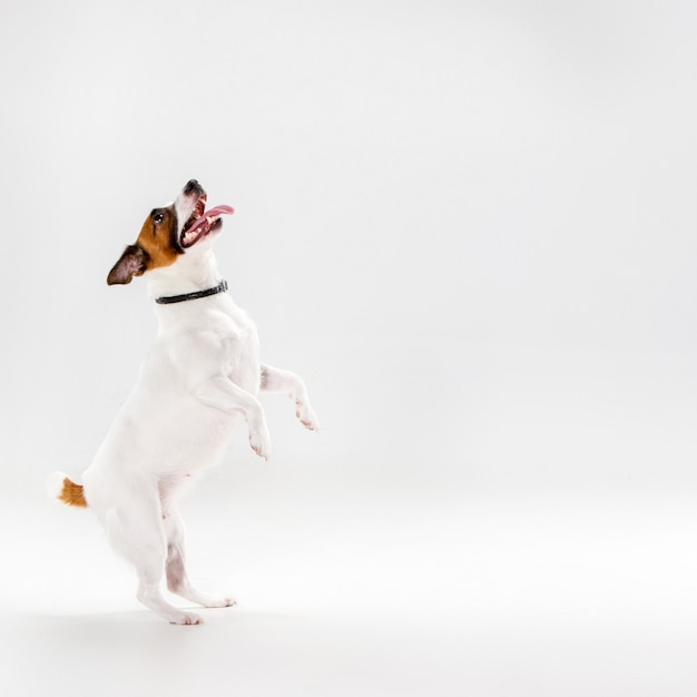 Small jack russell terrier on white Free Photo