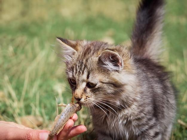 Small kitten eats a fish. Premium Photo