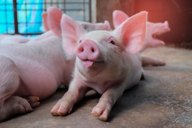 Small piglet tongue show in the farm. group of mammal indoor waiting feed. Premium Photo