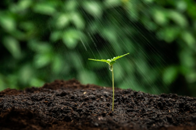 A small plant of cannabis seedlings at the stage of vegetation planted in the ground in the sun, a beautiful background, eceptions of cultivation in an indoor marijuana for medical purposes Premium Photo