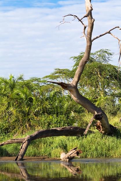 Небольшой пруд с сухим деревом. серенгети, танзания Premium Фотографии