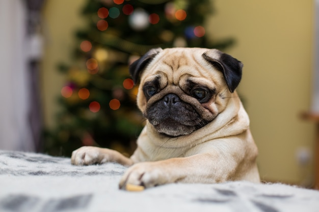 Small pug on the sofa Free Photo