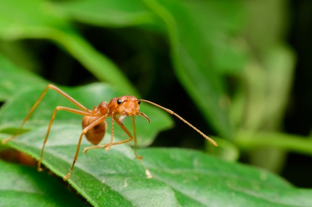 Small red ant on green leav Premium Photo