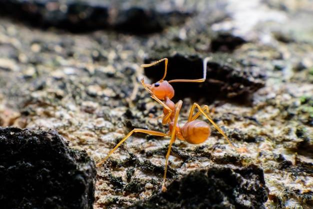 Small red ant Premium Photo