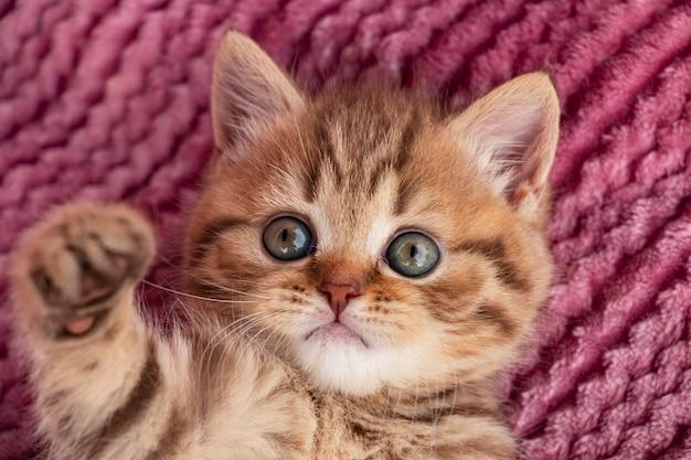 ピンクの背景に小さな赤いぶちの英国の子猫が足を引っ張る Premium写真