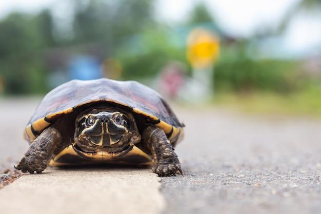 Small turtle walking on the road Premium Photo