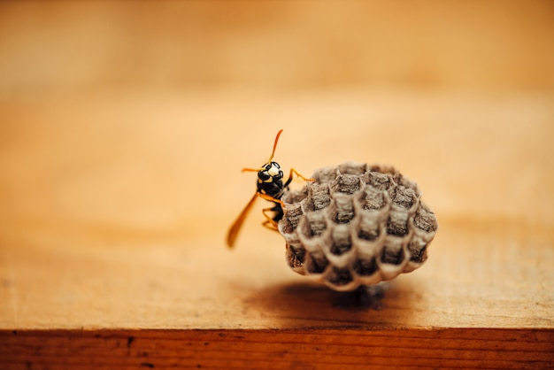 Small wasp protect his honeycombs in macro. Premium Photo