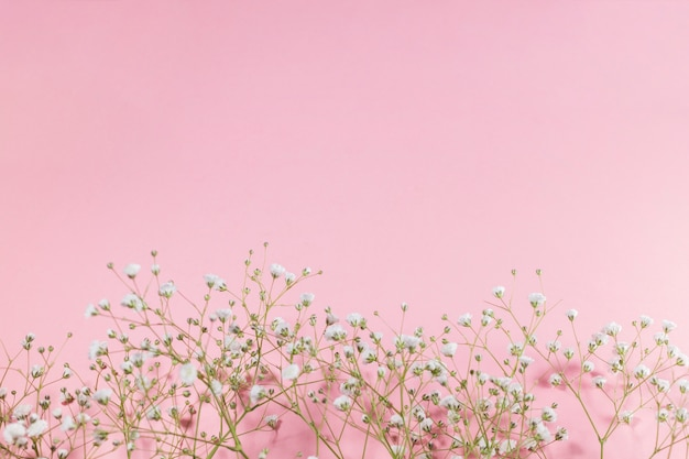 Small white blooming flowers on pink background Free Photo