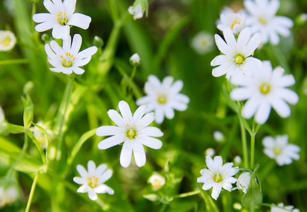 Small white flower on meadow spring time outdoor photo premium small white flower on meadow spring time outdoor premium photo mightylinksfo