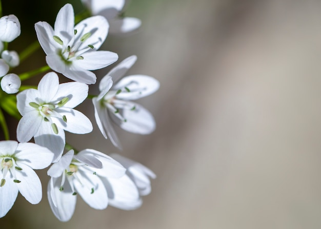 Small white spring flowers on a blur background Premium Photo