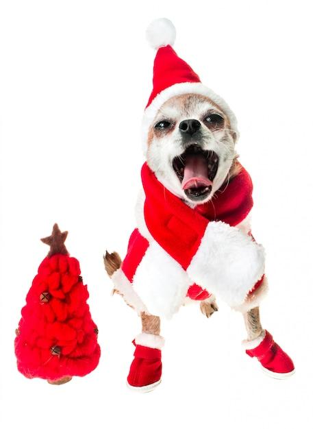 빨간 크리스마스 트리 화이트 격리와 산타 클로스 의상에서 개 치와와 웃 고. 프리미엄 사진