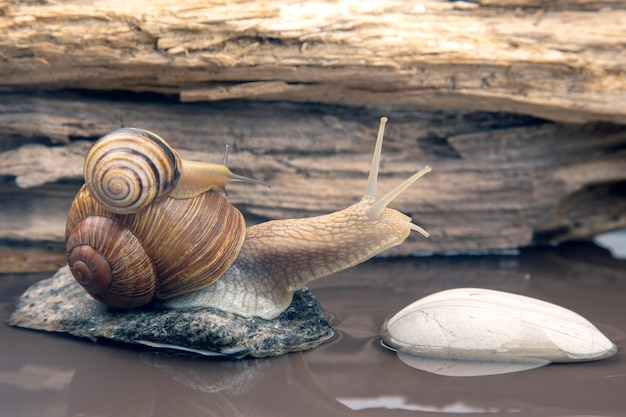 Snail climbs from stone to stone. mollusc and invertebrate. Premium Photo