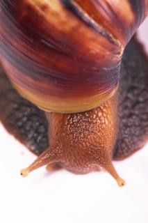 Snail  closeup Free Photo