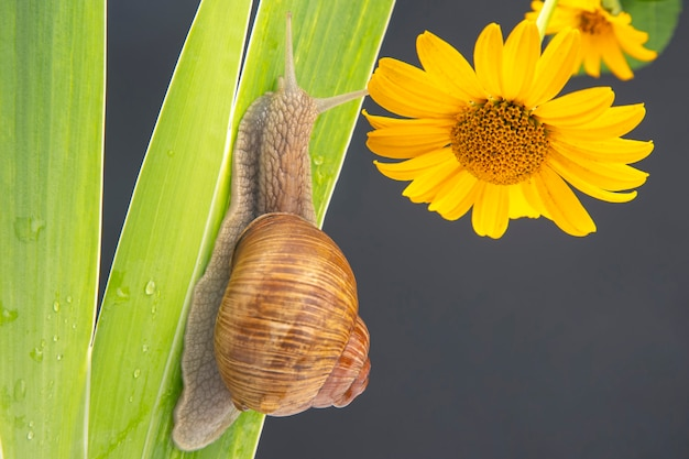 Snail crawling on a green leaf yellow flower. Premium Photo