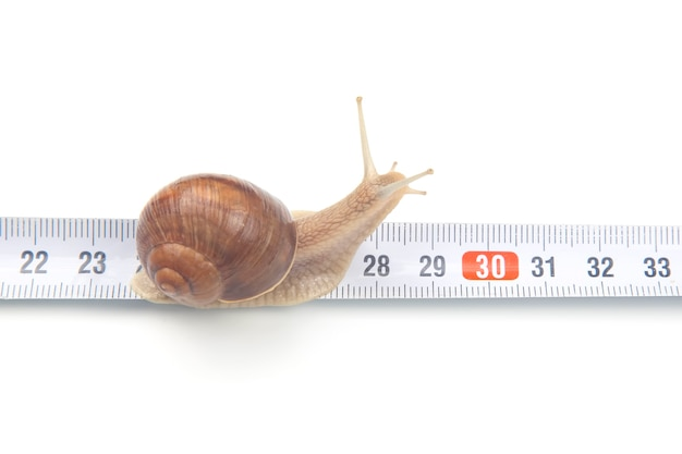 The snail crawls along the measuring ruler. mollusc and invertebrate. Premium Photo