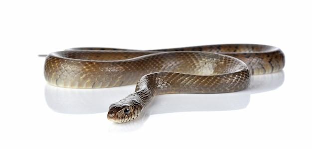 뱀 흰색 절연 프리미엄 사진