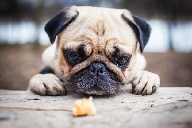 Muso pug dog. riposa sul pavimento. messa a fuoco morbida del primo piano Foto Gratuite