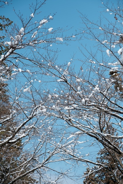 Snow at branch in forest of japan Free Photo