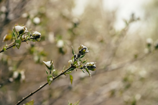Snow-covered bush with lilac buds starts to bloom in early spring close up. Premium Photo