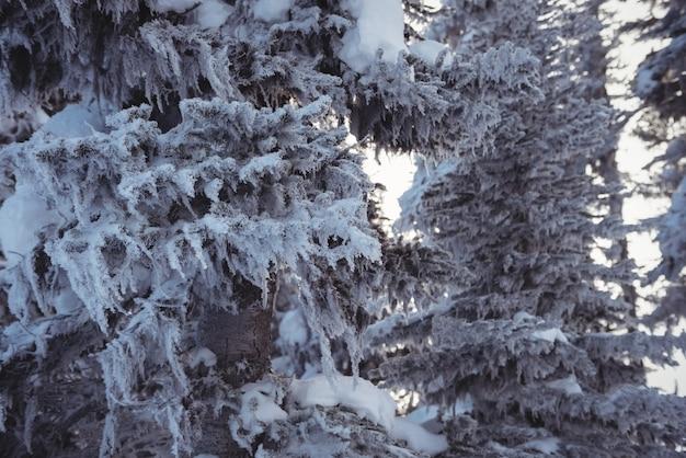 Alberi di pino innevati sulla montagna dell'alpe Foto Gratuite