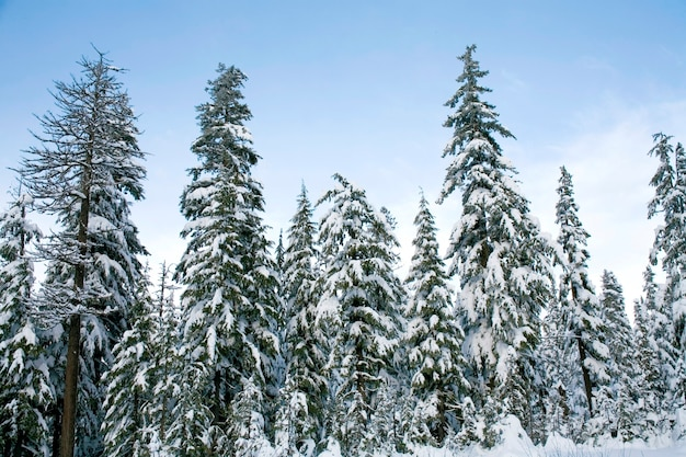 Snow fallen on cedars Premium Photo