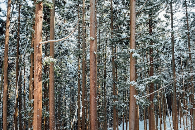 Snow forest in japan Free Photo