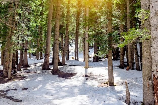Снежный лиственничный лес с солнечным светом и тенями красивые зеленые сосны Premium Фотографии