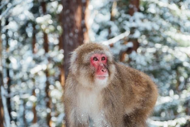 Snow monkey in japan Free Photo