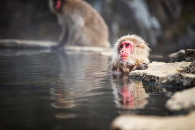 Snow monkey onsen in hot spring, japan Premium Photo