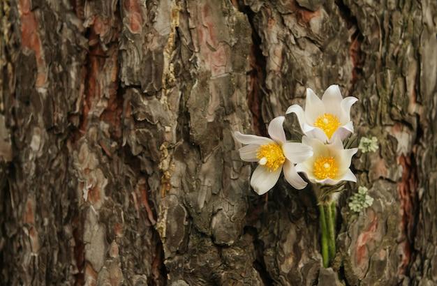 木の樹皮にスノードロップ。針葉樹林の春の花。 Premium写真