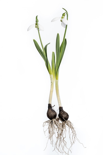 Snowdrops with roots and bulb isolated on white. complete snowdrops. Premium Photo
