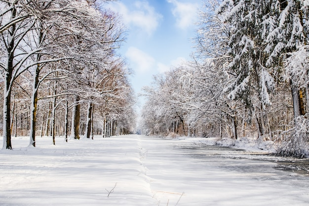 Snowy path into several trees in a forest Premium Photo