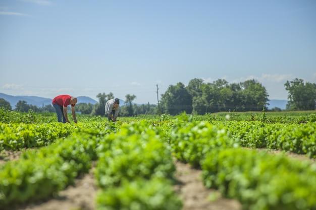 この畑にはたくさんの野菜があります 無料写真
