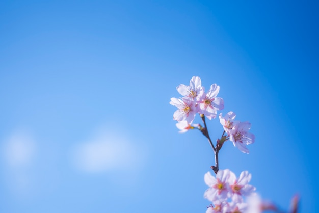 Soft focus cherry blossom or sakura flower on nature background Premium Photo