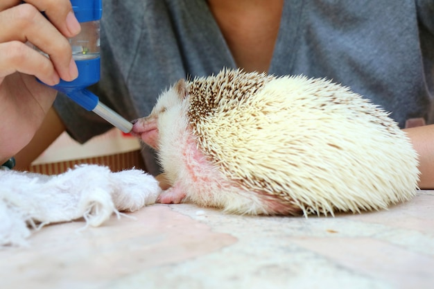 Soft focus of cute young hedgehog drinking water in summer day. Premium Photo
