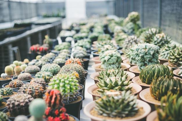Soft focus green cactus close up bunny ears cactus or opuntia microdasys blur background Premium Photo
