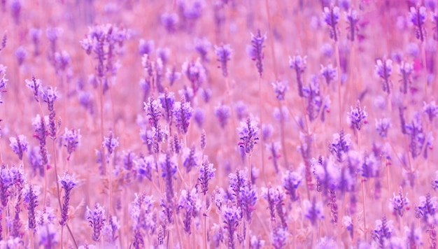 Soft focus purple lavender flower field, relaxation and aromatherapy concept Premium Photo